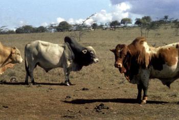 Angola perdeu cerca de 500 mil cabeças de gado por causa do mais recente fenómeno climático El Niño.Foto: Arquivo ONU