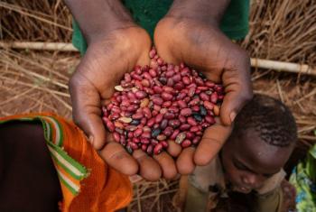 Famílias na República Centro-Africana recebem sementes do PMA e da FAO. Foto: FAO