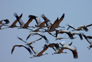 Pássaros migratórios. Foto: Jussi Mononen/Pnuma