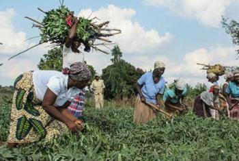 Comunidades africanas sofrem dos efeitos das más colheitas das últimas duas épocas.Foto: PMA/Molly Slotznick