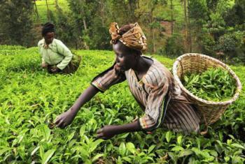 A agricultura orgânica em África precisa de mais investimentos. Foto: Unctad