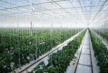 Cultivo de tomates e pimentas em estufa na Nova Zelândia. Foto: ONU/Evan Schneider