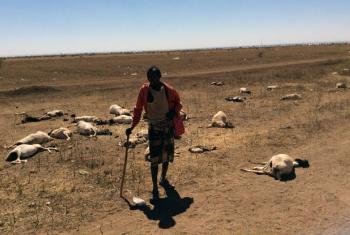 Pastor de gado no norte da Somália, região fortemente atingida pela seca. Ele perdeu quase metade de seu rebanho, que contava com 70 animais. Foto: Unicef/Sebastian Rich