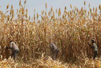 Época de plantio começa em maio. Foto: FAO