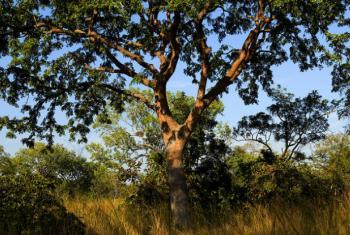 A FAO considera que a iniciativa contribuirá para a mudança transformadora na forma como as florestas são geridas em Moçambique. Foto: Banco Mundial/Arne Hoel