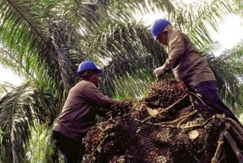 Trabalhadores do setor de óleo de palma na Colômbia. Foto: ILO/OIT