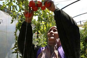 Agricultores sírios em Tartous retomam plantação de tomates com a ajuda da FAO e do Programa Mundial de Alimentos, PMA. Foto: FAO