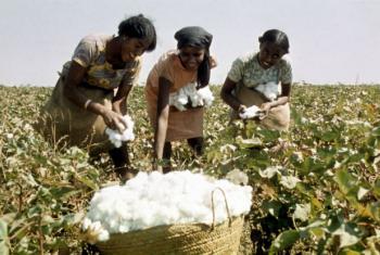 Cultivo de algodão em África. Foto: FAO/F Mattioli