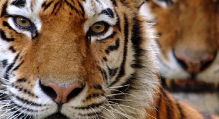 Амурский тигр. Фото Всемирного фонда дикой природы