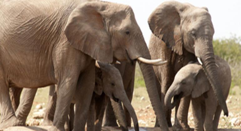 Слоны. Фото ЮНЕП
