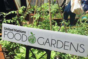 На территории штаб-квартиры ООН в Нью-Йорке теперь растут огурцы, помидоры, кабачки и кинза.