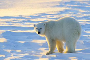 Белые медведи. Фото WWF