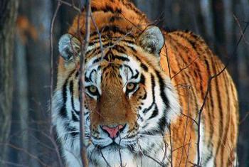 Амурский тигр. Фото WWF