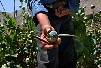 Маковое поле в Афганистане. Фото УНП ООН