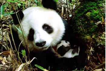 Панда. Фото ЮНЕСКО