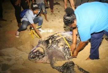 Организация «Искатели природы» защищает кожистых черепах. Фото Службы новостей ООН/ Л.Гао