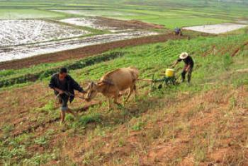 Сельское хозяйство в Северной Корее. Фото ФАО