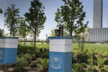 Мини-пасека в саду штаб-квартиры ООН в Нью-Йорке. Фото ООН