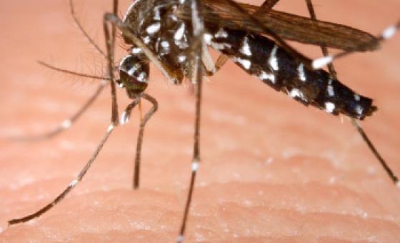 Mbu wa Aedes anayeambukiza virusi vya Zika. Picha ya WHO