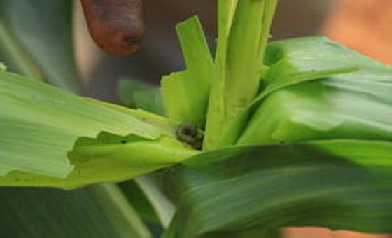 Wadudu waharibifu wa mimea kwenye matawi ya mahindi. Picha: FAO