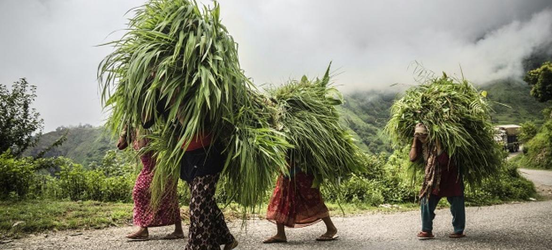 Wakulima wa Nepal wanabeba lishe ya mifugo. Picha: FAO
