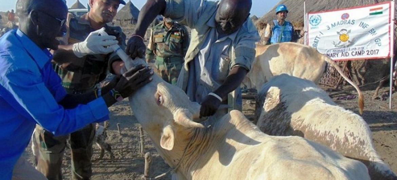 Walinda amani wa Umoja wa Mataifa wapatia matibabu ng'ombe na kuwaelimisha wamiliki wao huko Upper Nile nchini Sudan Kusini. Picha: UNMISS