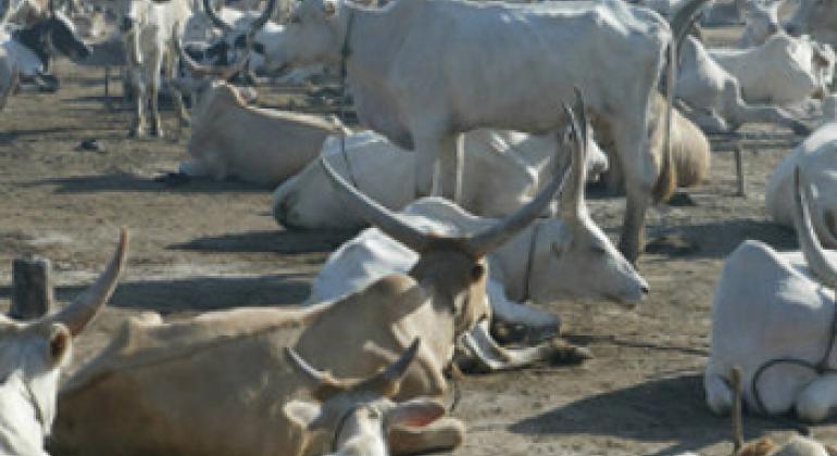 Mifugo yapumzika katika kambi ya Rumbek.(Picha ya FAO)