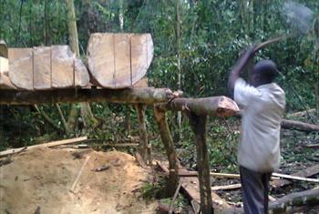 Ukataji wa miti Uganda Picha ya UM/Kiswahili