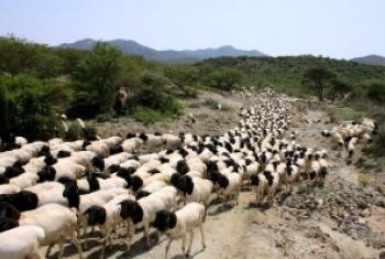 Ufugaji nchini Somalia hususan maeneo ya kusini uko mashakani kutokana na mafuriko yaliyokumba eneo hilo karibuni. (Picha:FAO)