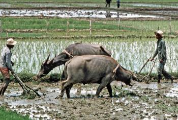Kilimo cha mpunga nchini Ufilipino(Picha ya Edwin G Huffman)