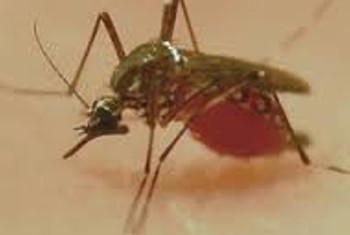 Mbu aenezae malaria na magonjwa mengine kama chikungynya. Picha:WHO