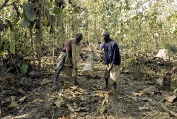 Jamii ikiondoa ziada ya miti ili kuboresha miti mingine kwenye msitu wa Casamance, Senegal. Picha:
