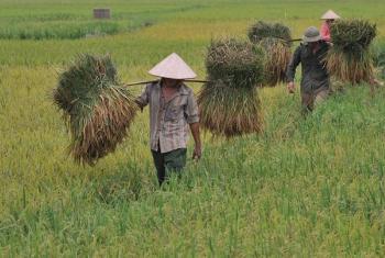 Wakulima wavuna mpunga Vietnam. Picha: FAO
