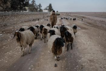 FAO limezindua kampeni ya dharura ya chanjo kwa wanyama katika eneo la Mosul jimbo la Ninewa nchini Iraqi. Picha: FAO