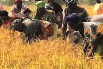 Wakulima walioko katika Ushirika wa ukulima nchini Rwanda wakikagua mpunga. Picha: FAO_Rwanda