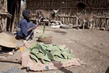 Mwanamke nchini Ethiopia akata dungusi kakati kwa ajili ya kulisha mifugo wake. Picha: FAO