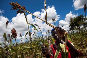 Mwanamke anavuna mtama kutoka kwa shamba yake nchini Sudan Kusini. Picha: FAO