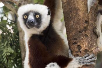 Lemur, aina ya wanyama waishio mlimani wanaotishiwa kutoweka. Picha: UM