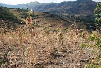 Mazao kupungua Ethiopia kufuatia ukame. Hali hiyo huathiri zaidi familia nyingi  na maskini . Picha: UM