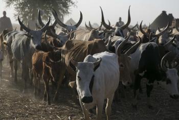 FAO yaanzisha Kampeni ya chanjo ya mifugo magharibi mwa Aweil nchini Kusini ikifadhiliwa na Benki ya Dunia. Picha: FAO