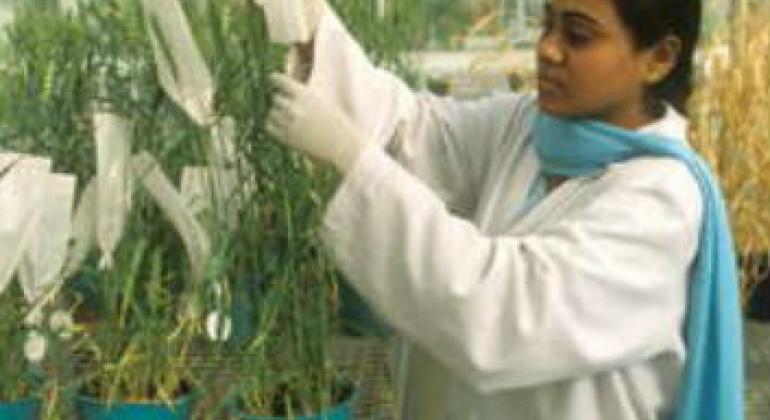 一名科学家在粮农组织出资在印度建立的设施中筛选小麦品种。联合国粮食署图片。