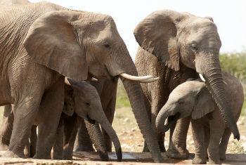 """世界自然保护联盟将非洲象列为""""易受威胁物种"""",它们正因为非法象牙贸易遭到偷猎者的猎杀。联合国环境署 全球资源信息数据库-阿伦达尔中心图片/Peter Prokosch"""
