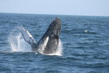 海洋运输对鲸类生存构成威胁 联合国环境署图片