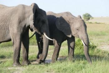 肯尼亚马赛马拉国家保护区的非洲灌木大象。尽管在非洲许多地方偷猎增加,但是马拉的大象数量正在增加。h